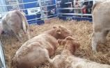 WATCH: Rare Quadruplet calves a big hit at Ploughing