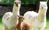 Meet the alpacas at Hushabye Farm