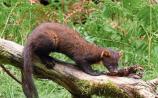 Laois meeting to debate 'divided' views on pine marten