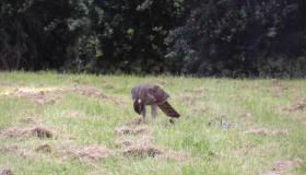 WATCH Bird of prey devour its dinner in Portlaoise