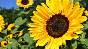 Pick your own sunflowers for autism charity and Portlaoise parish