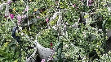 Green fingered Laois students brighten town with hanging baskets