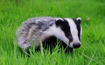 Irish badgers set to receive tuberculosis vaccinations instead of being culled